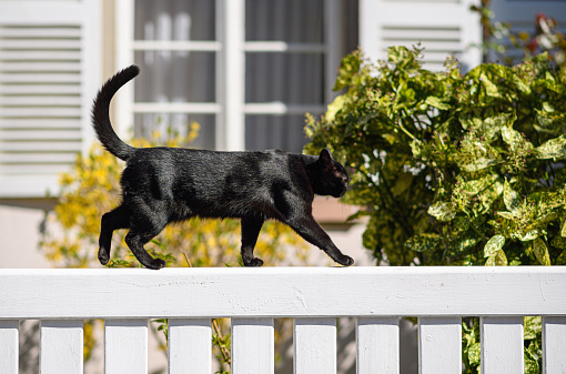 Sweet young fit elegant black cat walking on a white fence sunny weather