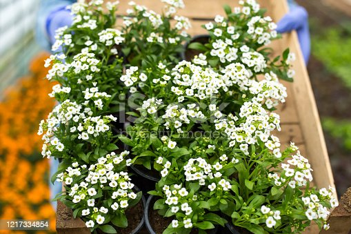 Holding seedlings of Sweet-Alyssum