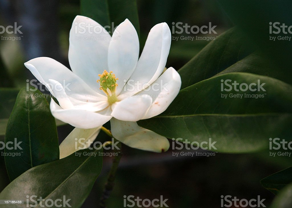 Sweetbay Magnolia Flower in Bloom Close Up royalty-free stock photo
