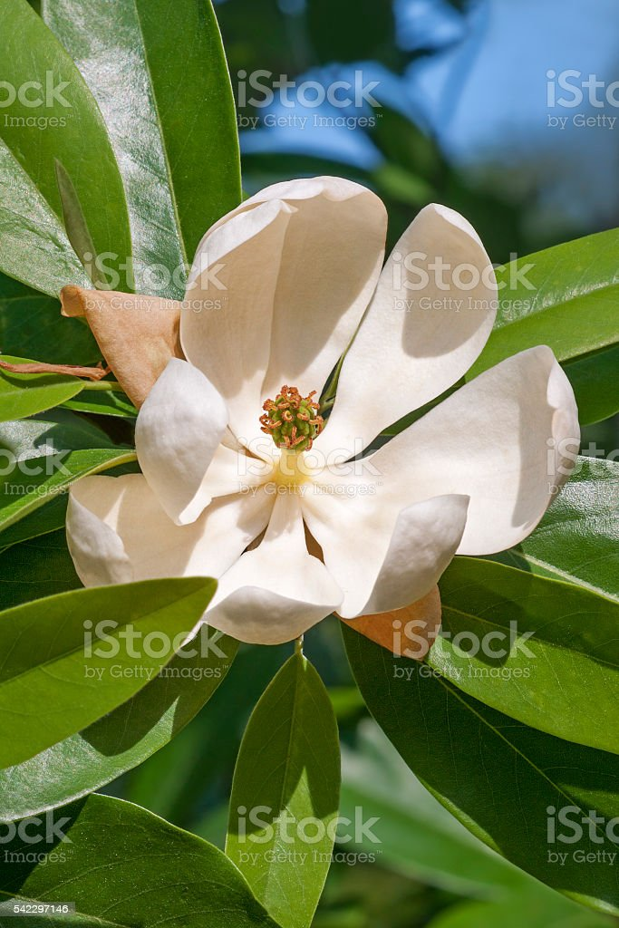 Sweetbay Magnolia Flower Stock Photo More Pictures Of Bush Istock