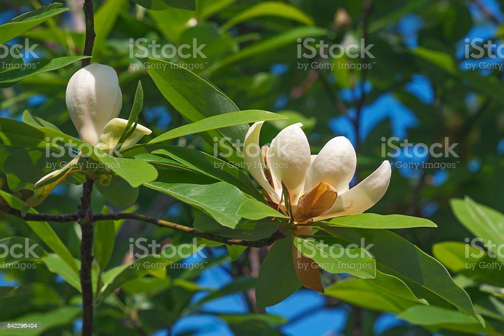 Sweetbay magnolia flowers stock photo