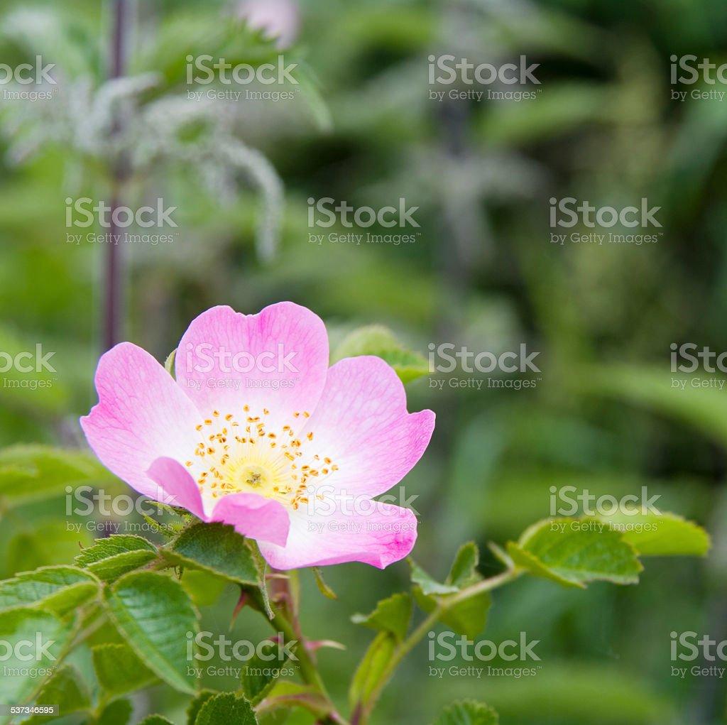 Sweetbriar Rose (Rosa rubiginosa) Flower stock photo