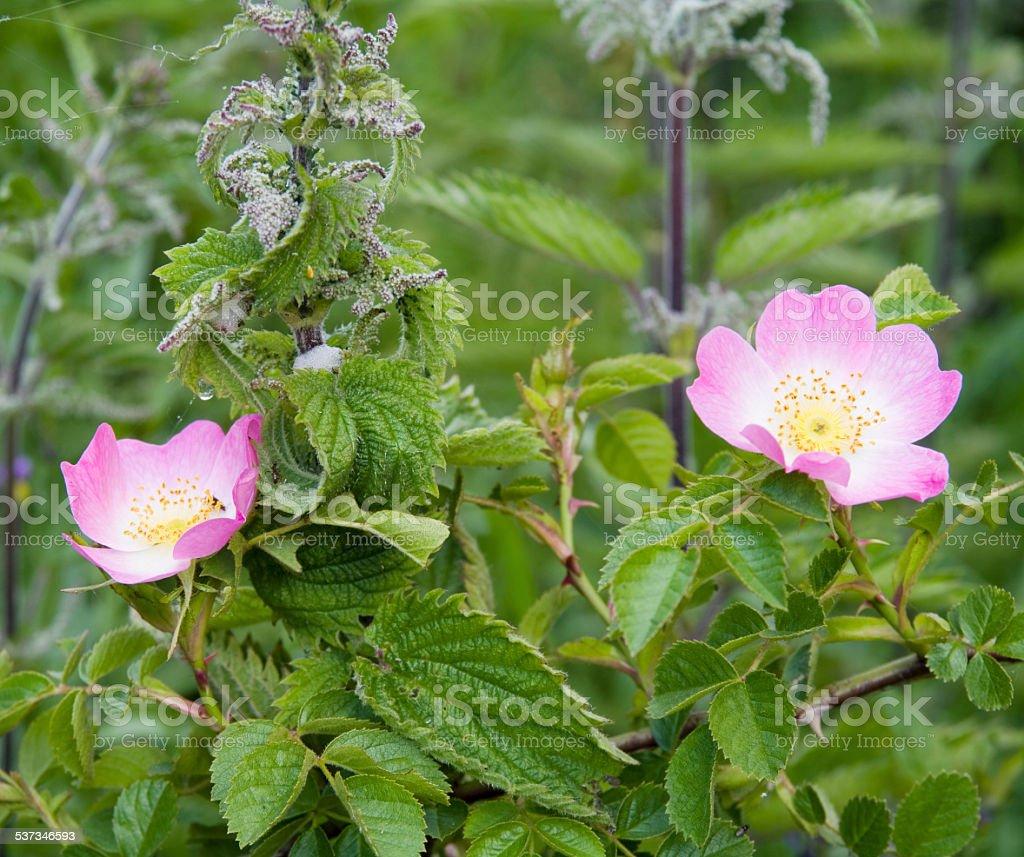 Sweetbriar Rose (Rosa rubiginosa) Flowers stock photo