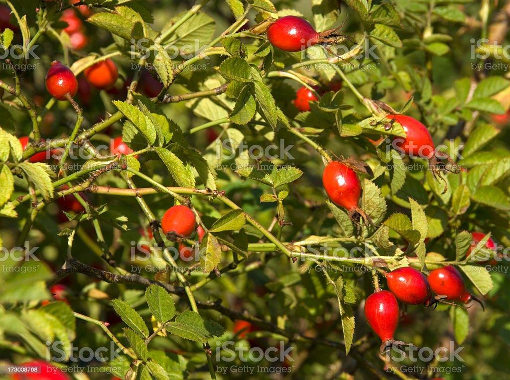 Sweetbriar Rose (Rosa rubiginosa) Hips stock photo