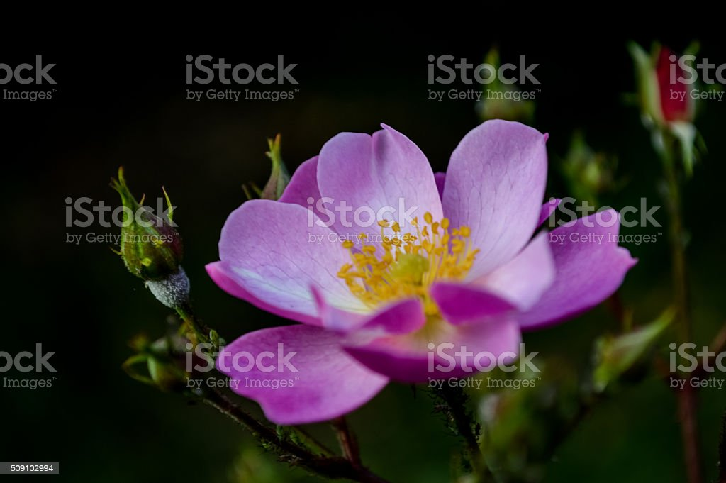 Sweetbriar Rose stock photo