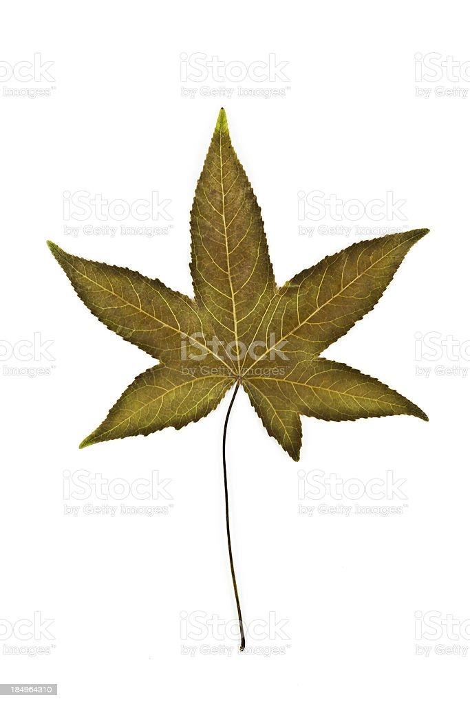 Sweetgum Leaf back - Liquidambar styraciflua stock photo