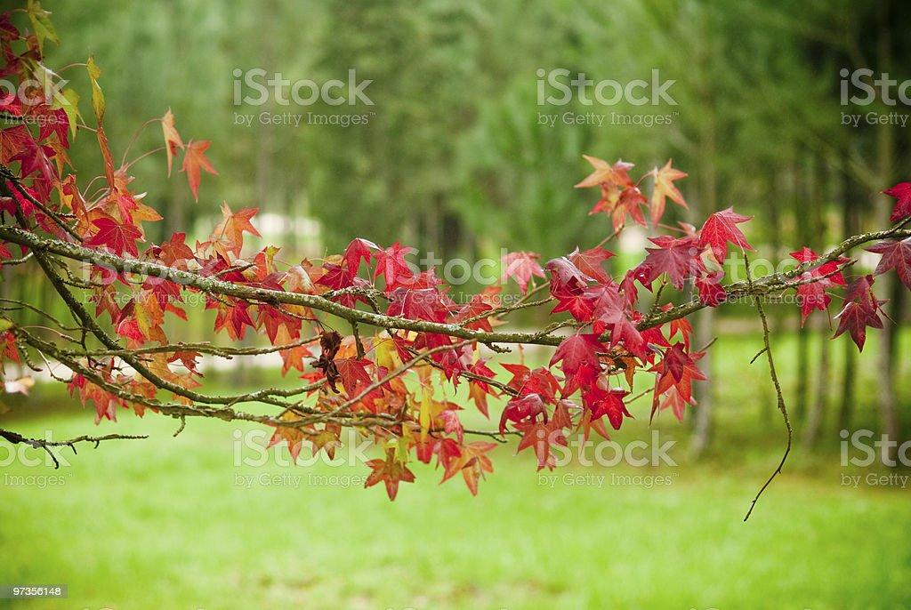Sweetgum stock photo