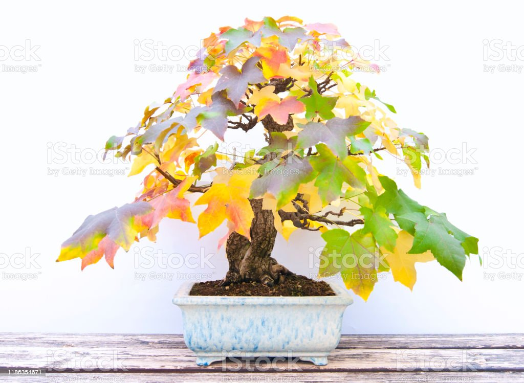 Sweetgum Tree Bonsai At Fall Stock Photo Download Image Now Istock