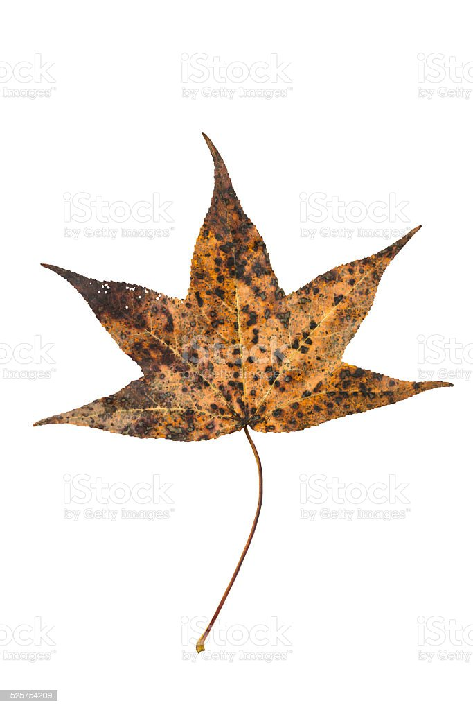 Sweetgum tree leaf on white stock photo