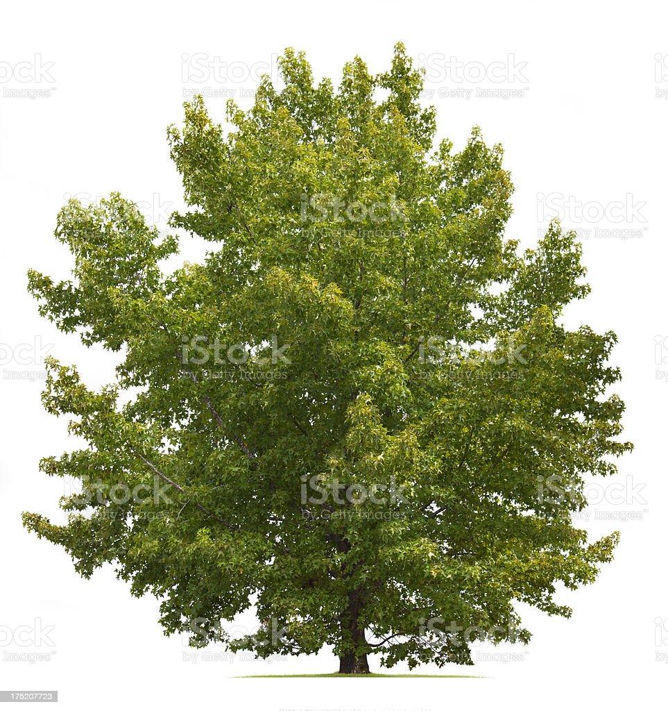 Sweetgum Tree stock photo