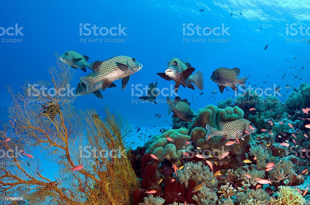 Sweetlip reef royalty-free stock photo