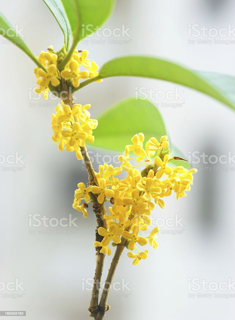 Sweet-scented osmanthus twig royalty-free stock photo