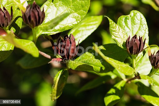 Common sweetshrub (Calycanthus floridus in latin) in Berlin Botanic Garden, Germany. Floral background.