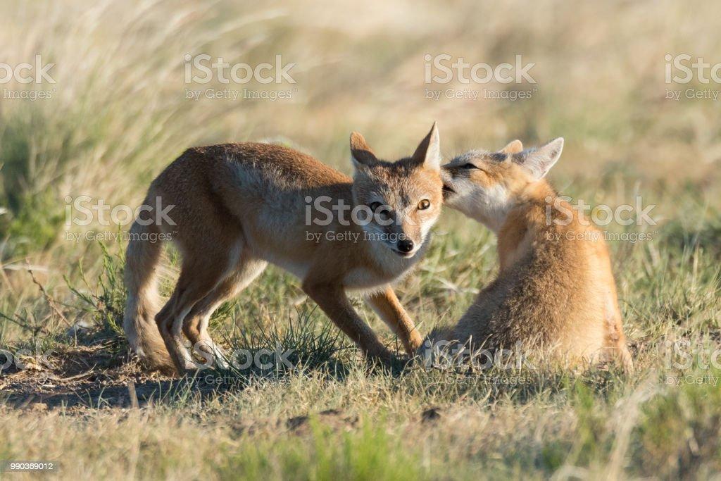 Swift Fox mother and kit, Black Mesa, Oklahoma stock photo