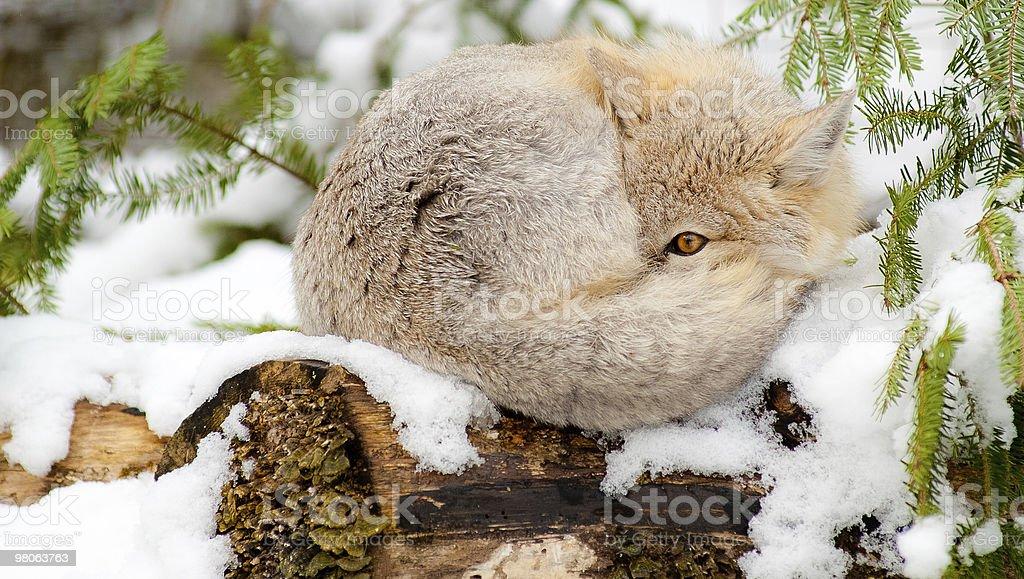 Swift Fox sleeps in natural winter habitat. royalty-free stock photo