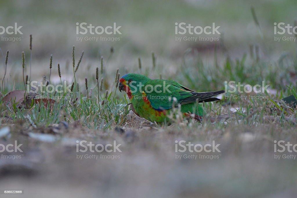 Swift Parrot; Lathamus discolor Psittacidae stock photo
