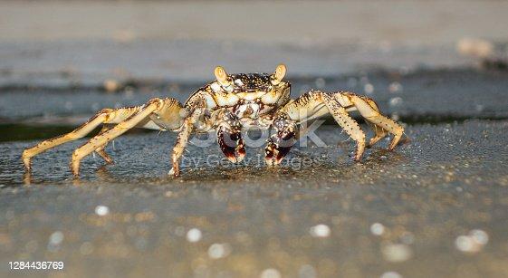swift-footed rock crab, Helengeli Island, Maldives