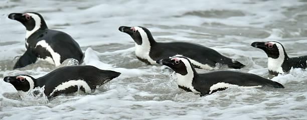 swimming african penguins - pinguins swimming stockfoto's en -beelden