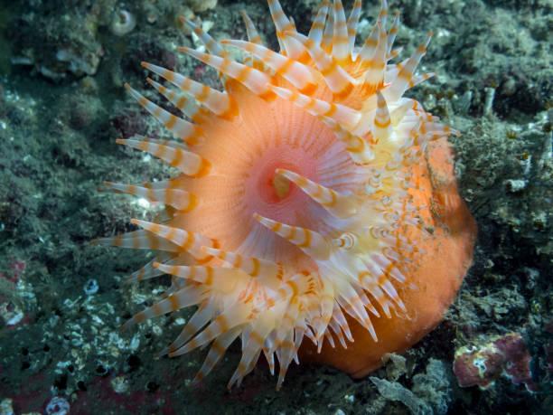 Swimming Anemone (Stomphia  didemon) stock photo