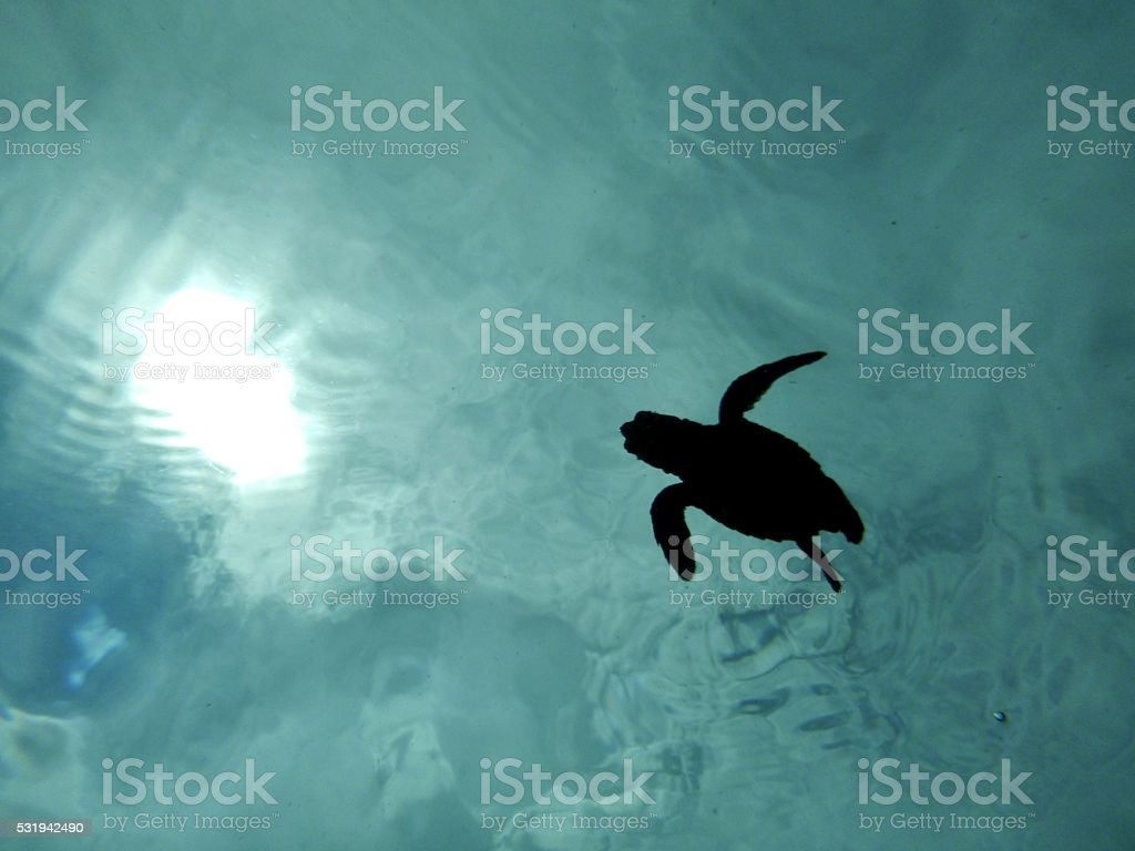 Swimming baby turtle from below stock photo