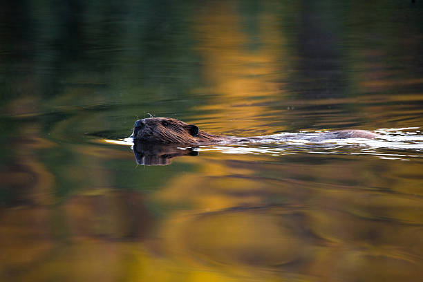 swimming beaver stock photo