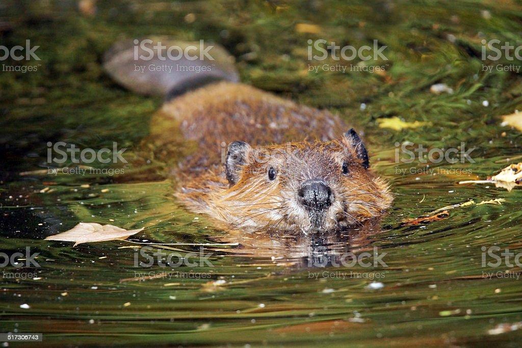Swimming beaver stock photo