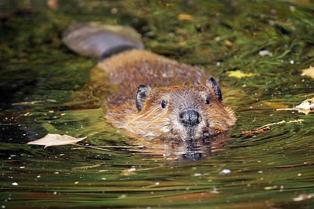 Piscine de beaver - Photo