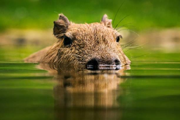 Swimming capybara portrait stock photo