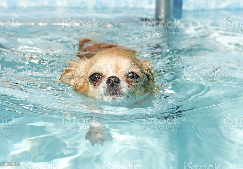 swimming chihuahua stock photo