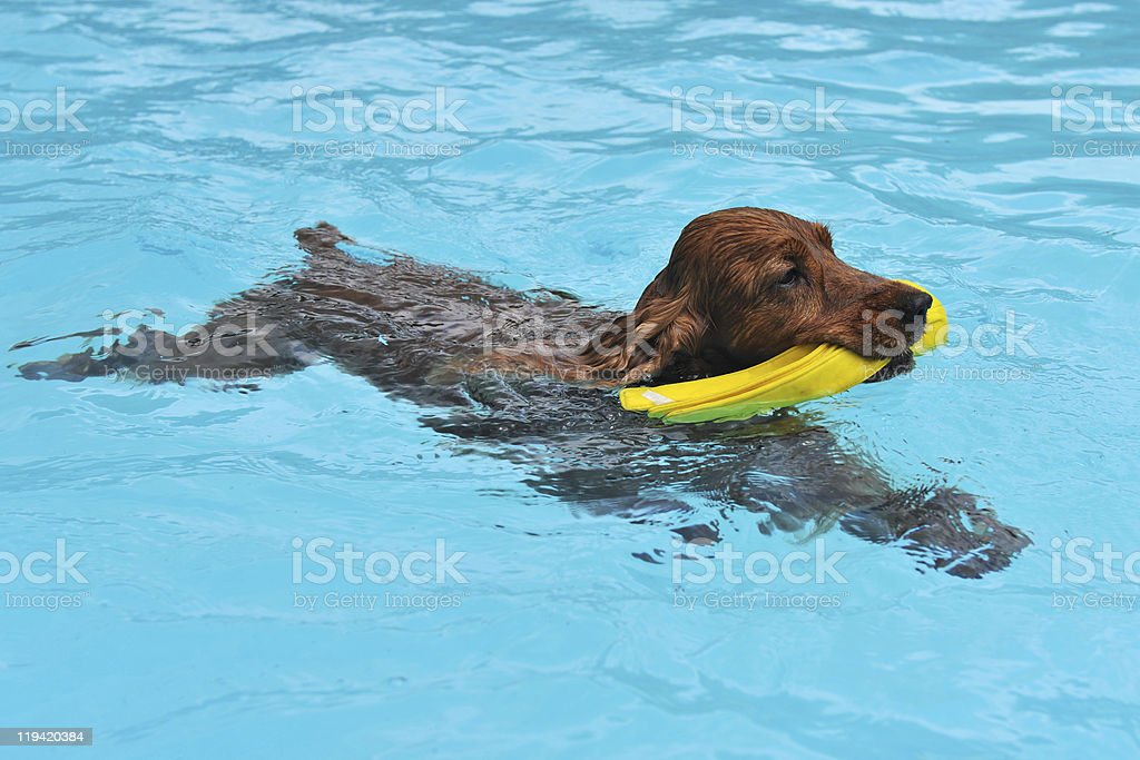 swimming cocker stock photo