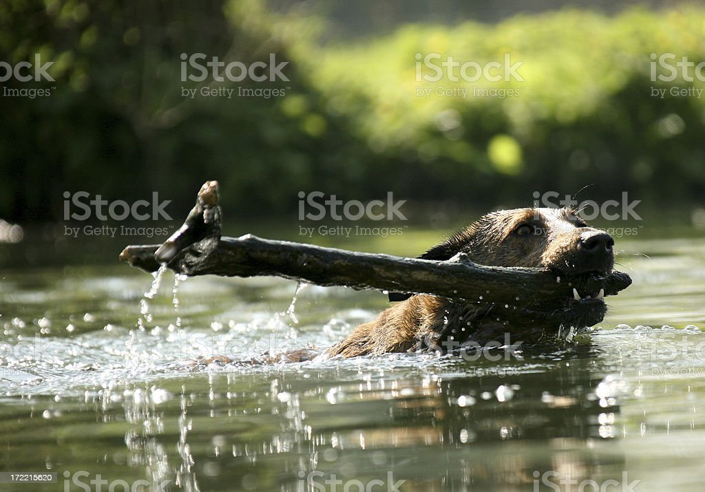 swimming dog royalty-free stock photo