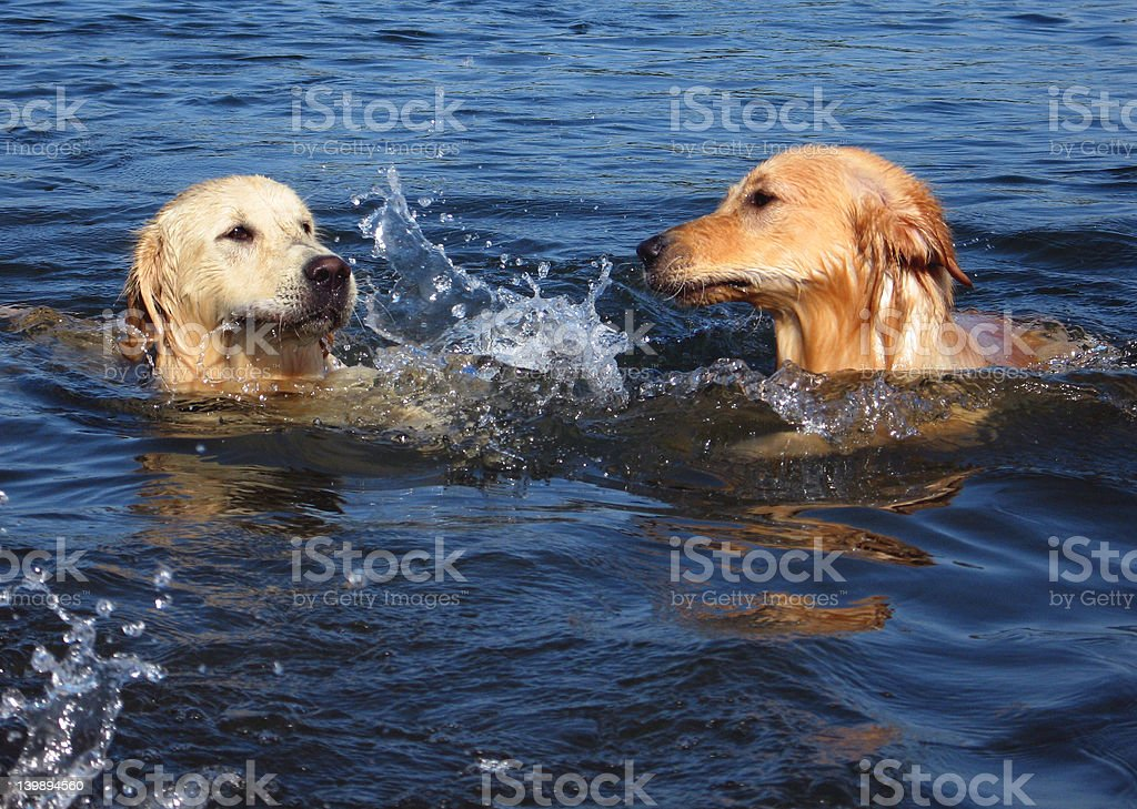 swimming  dogs royalty-free stock photo