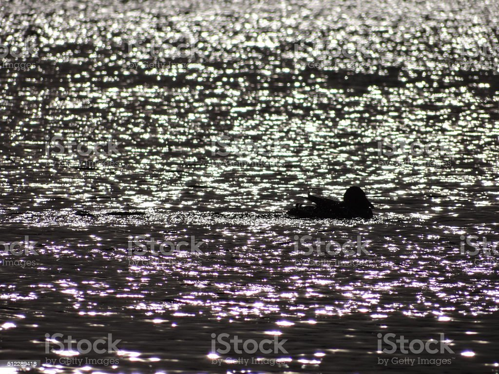 Swimming duck in reflecting water stock photo