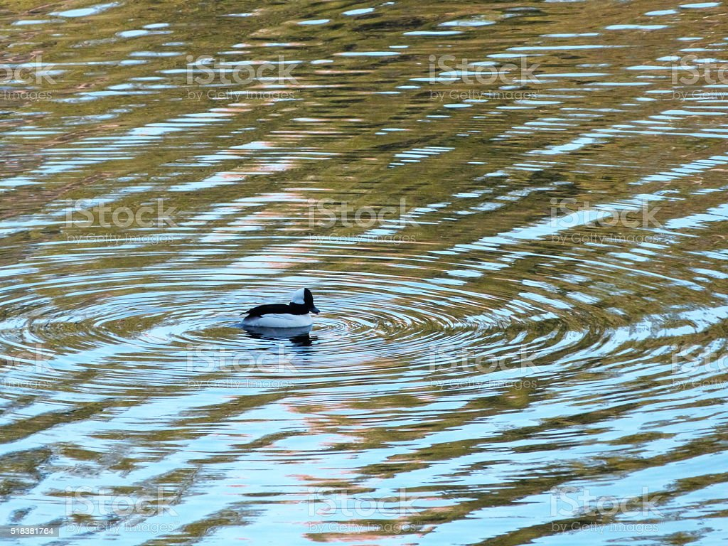 A single Bufflehead duck paddling gently in the river, creating...