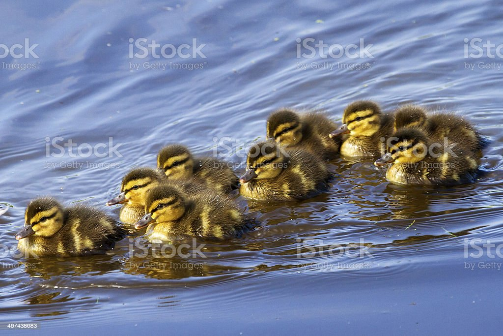 Nuoto Ducklings - foto stock