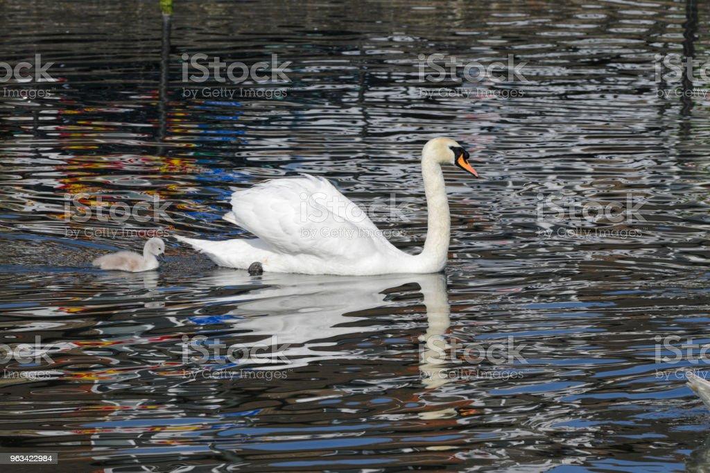 Swimming female mute swan Cygnus olor with cygnet in profile - Zbiór zdjęć royalty-free (Anglia)