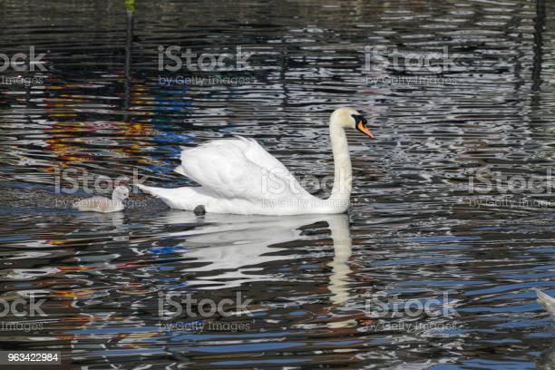 Pływanie Żeński Niemy Łabędź Cygnus Olor Z Cygnet W Profilu - zdjęcia stockowe i więcej obrazów Anglia