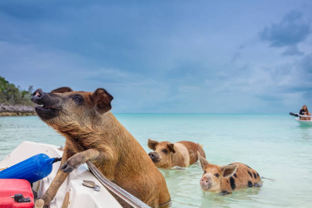 swimming feral pigs of exuma, on the bahamian uninhabited pig island. - exuma foto e immagini stock
