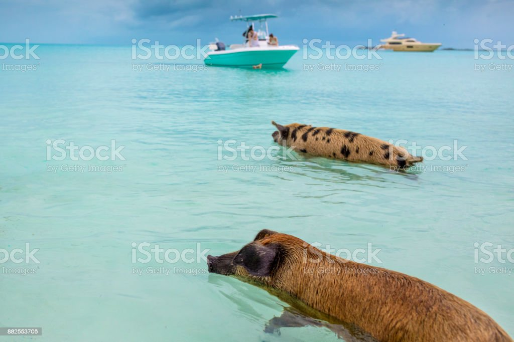 Swimming feral pigs of Exuma, on the Bahamian uninhabited Pig Island. stock photo