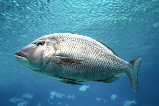istock Swimming Fish Close-Up 108312496