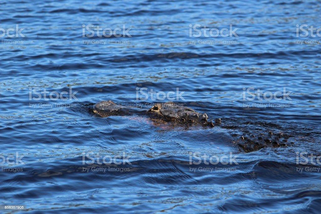 Swimming Gator stock photo