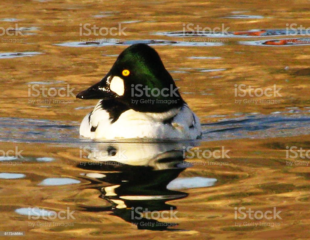 A beautiful image of a male Common Goldeneye drake duck gliding...