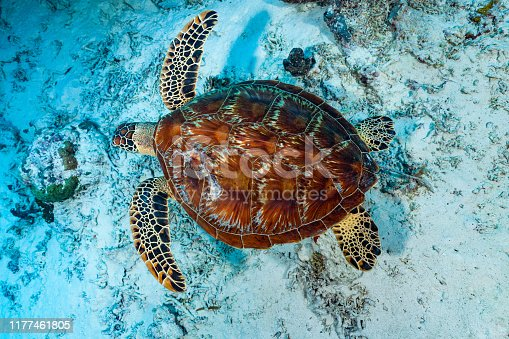 Green turtles are found in tropical and portions of subtropical oceans worldwide. The species is endangered because there are so many predators, including humans. This specimen was injured at the carapace but survived. Palau, Micronesia, 7°7'18.599