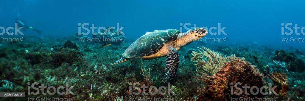 Swimming Hawksbill Sea Turtle stock photo