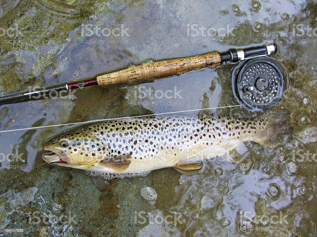 Swimming Hole Brown Trout royalty-free stock photo