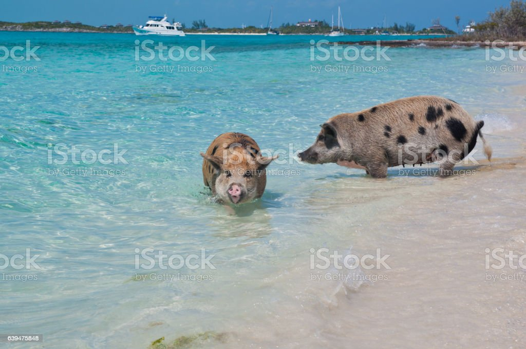 Swimming Island Pigs stock photo
