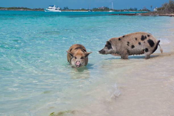 Swimming Island Pigs stock photo