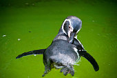 swimming jackass penguin (Spheniscus demersus)