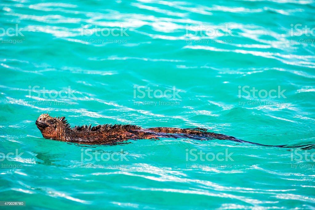 Swimming Marine Iguana stock photo