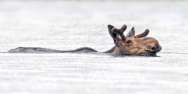 Swimming moose stock photo